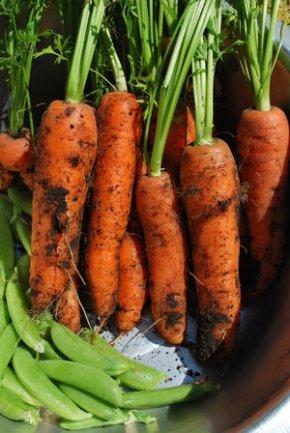 520a3-carrots_july2010006